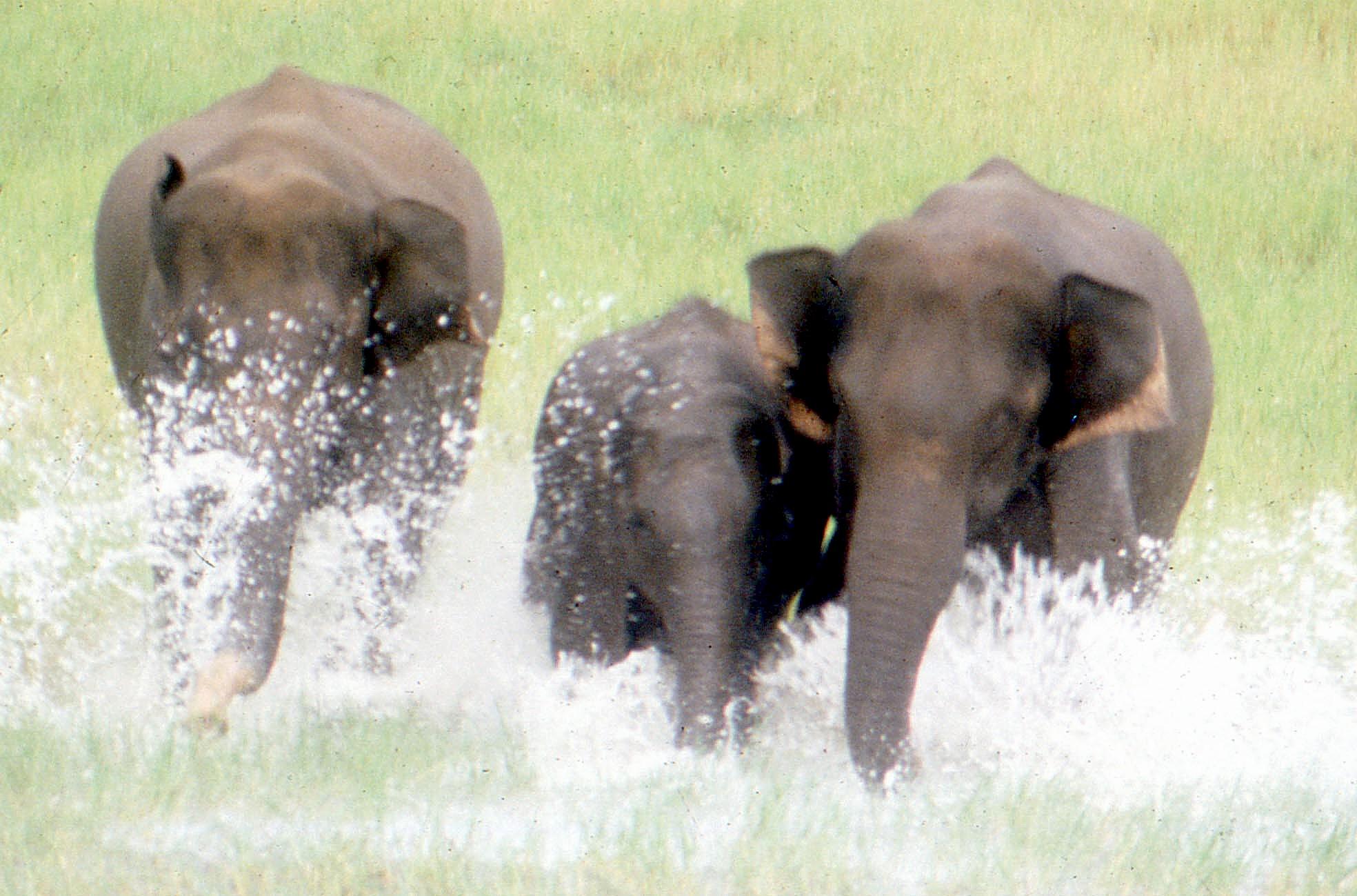 Elephants - Periyar 2
