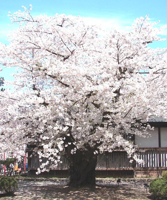 oldest-cherry