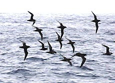 short-tailed-shearwaters