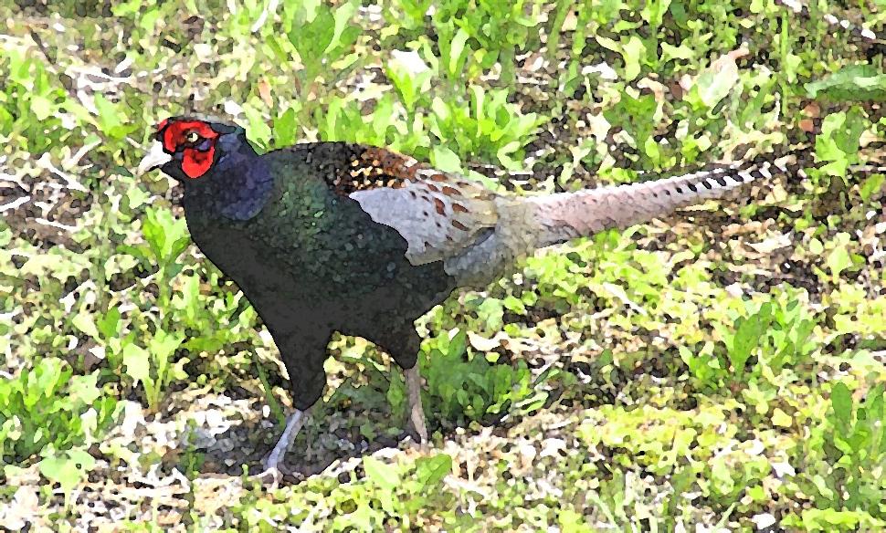 pheasant-ps2