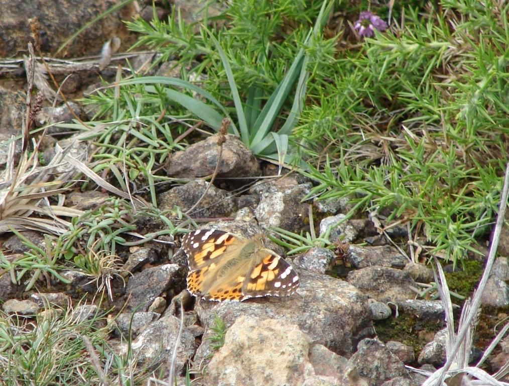Painted lady - crop.JPG