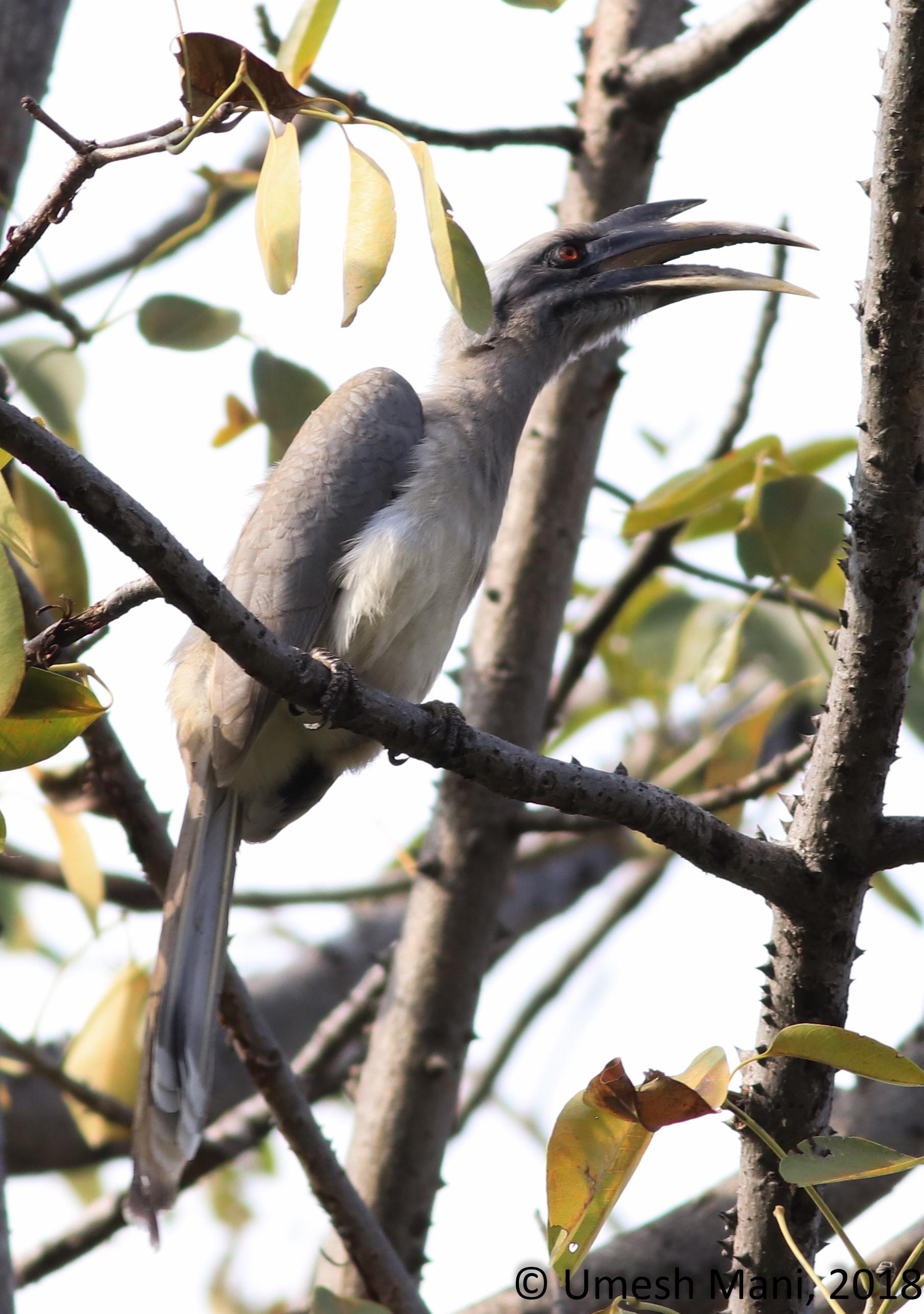 Grey hornbill (Ocyceros birostris)