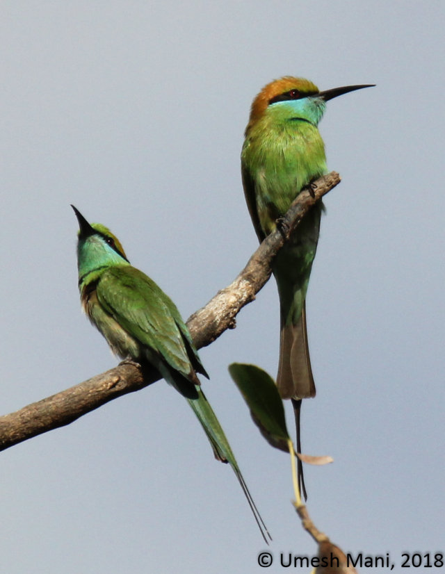 Little green bee-eaters (Merops orientalis)