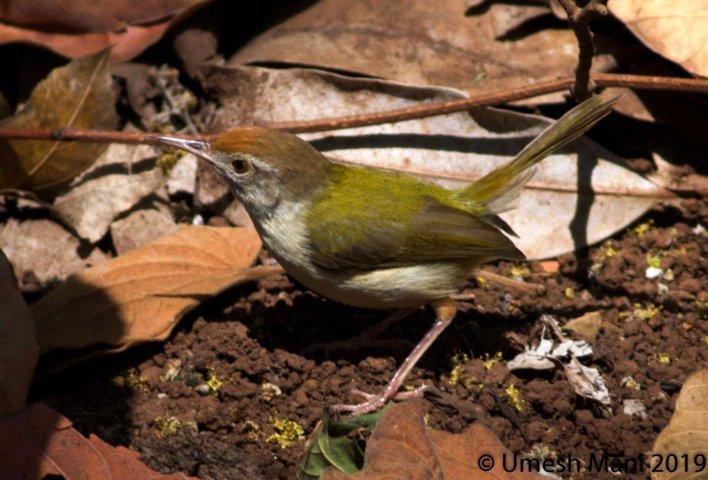 Tailorbird (Orthotomus sutorius)