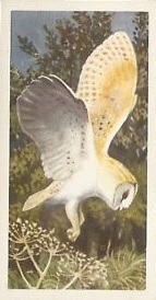 BP Barn owl
