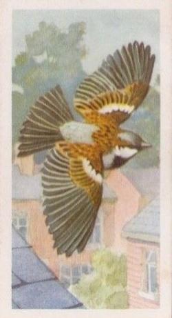 BP House sparrow