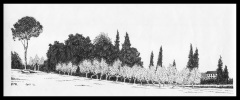 Olive-trees-near-Sienna-1974-reduced