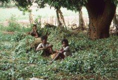 Orissa-groundnut-harvest- 1990s